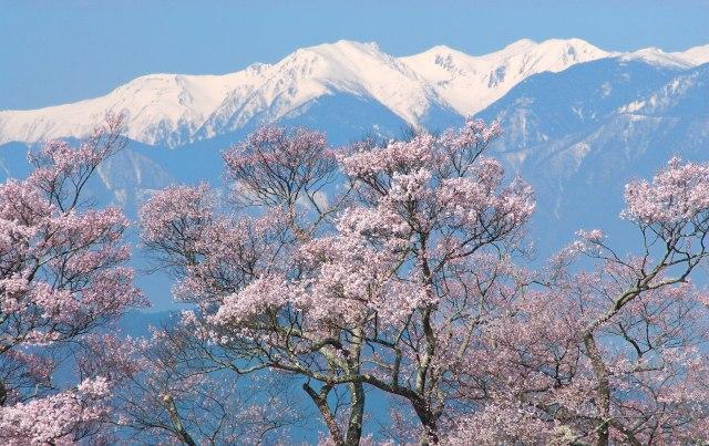 cherry blossoms in nagano silverkris