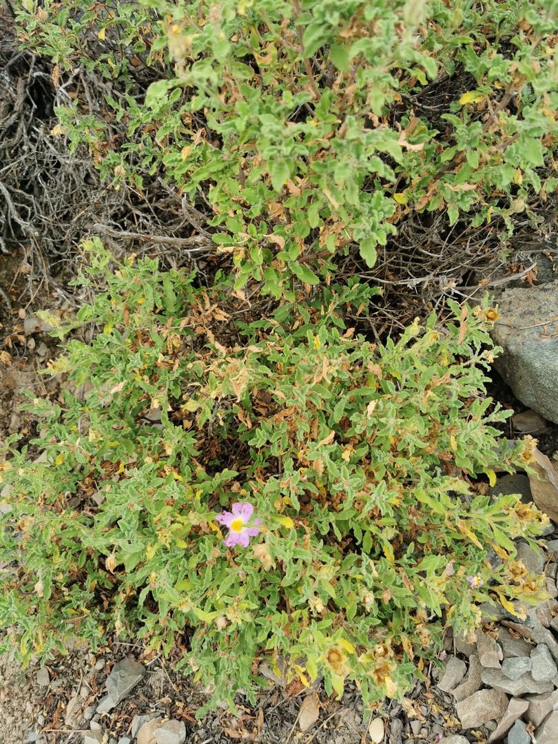 SilverMint blog rośliny śródziemnomorskie