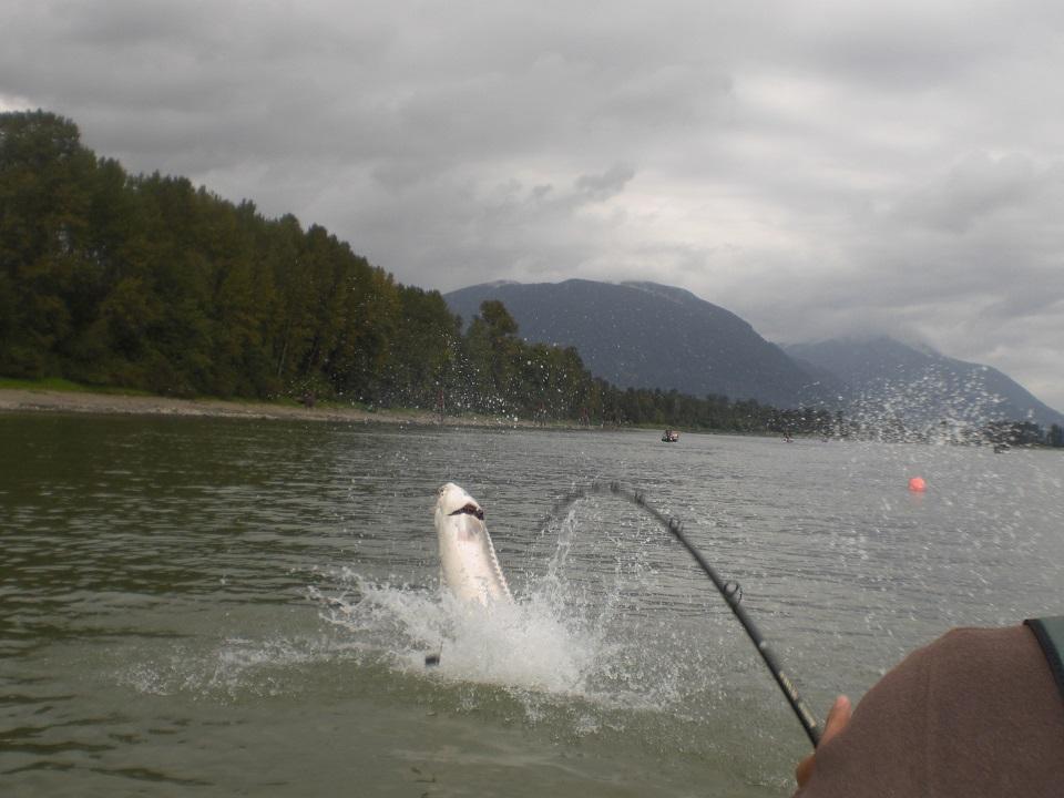 2017 39 s best fishing opportunities fraser valley for Fraser river fishing