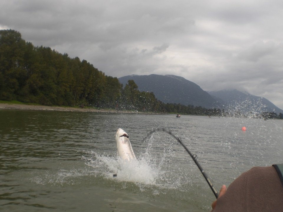 sturgeon fishing, sturgeon fishing bc, sturgeon fishing guides, sturgeon fishing trips, sturgeon fishing charters, sturgeon fishing canada, sturgeon fishing fraser river
