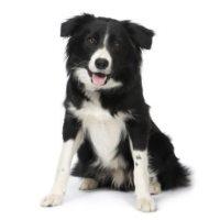 Las razas de perros más inteligentes y obedientes