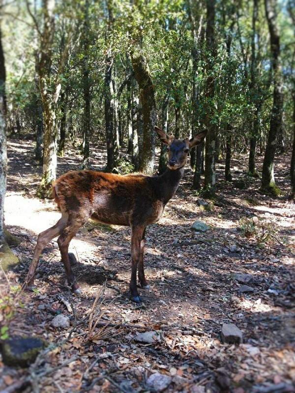 Il cervo sardo nella riserva di is cannoneris