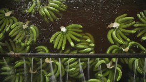 Silvio Palladino Documentary Photography bananas