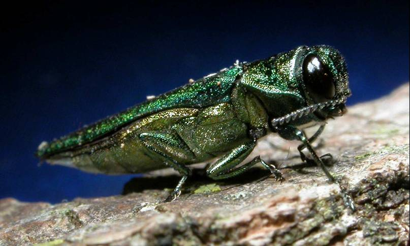 The emerald ash borer and the priest