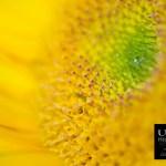 {day 97 project365 2015… sunflower diamond}