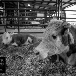 {day 076 project365 2016… calf rest}