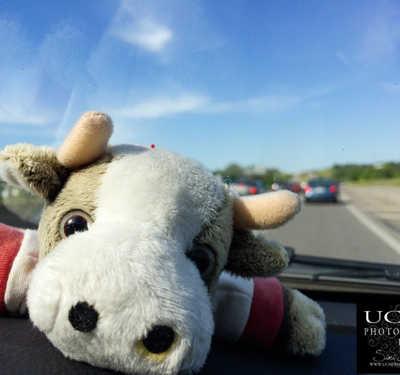{day 096 mobile365 2016… cow ride along}