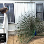 {day 105 mobile365 2016… peahen peacock}