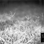 {day 223 project365 2016… sticking out of grass}