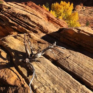 Redrock and twisted wood, Zion National Park.