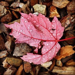 Red maple leaf on rocks and leaves with raindrops in Flagstaff, Arizona.