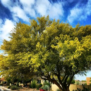 Spring palo verde blooms turn the neighborhood yellow.