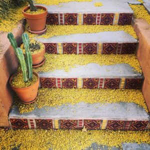 Palo verde flower petals on stairs with cactus, Civano.
