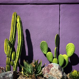 Cactus and purple wall, Civano.