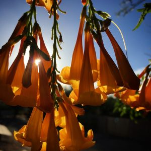 Orangebell flowers backlit by the afternoon sun.