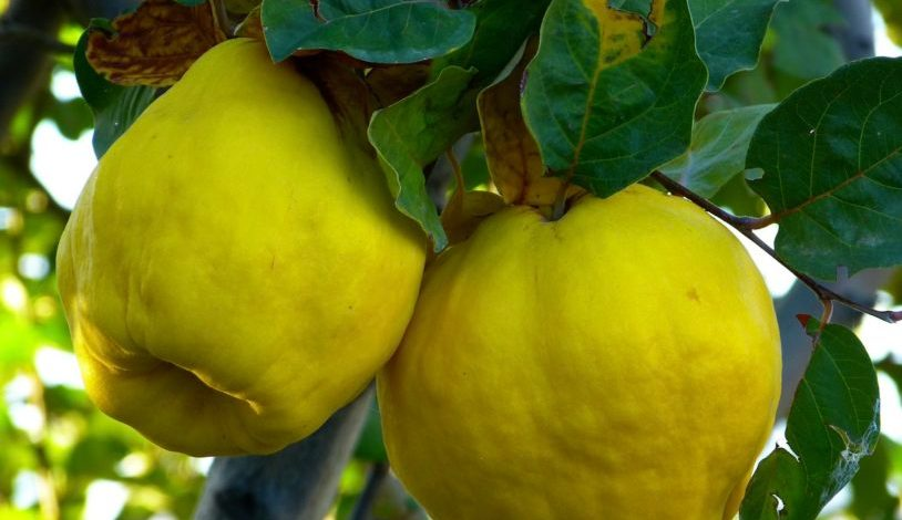 coings Pixabay quince-65185_1920