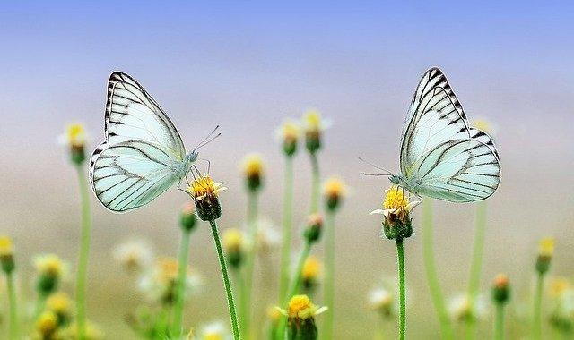 papillon butterfly-1127666_ pixabay640