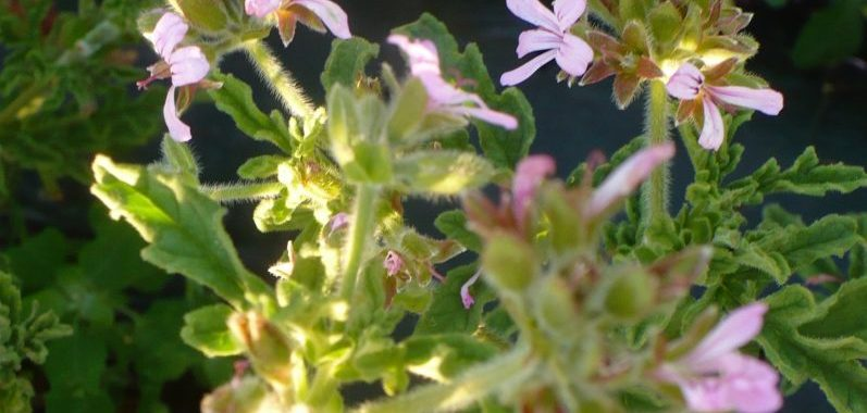 glace pelargonium geranium rosat Obrecht