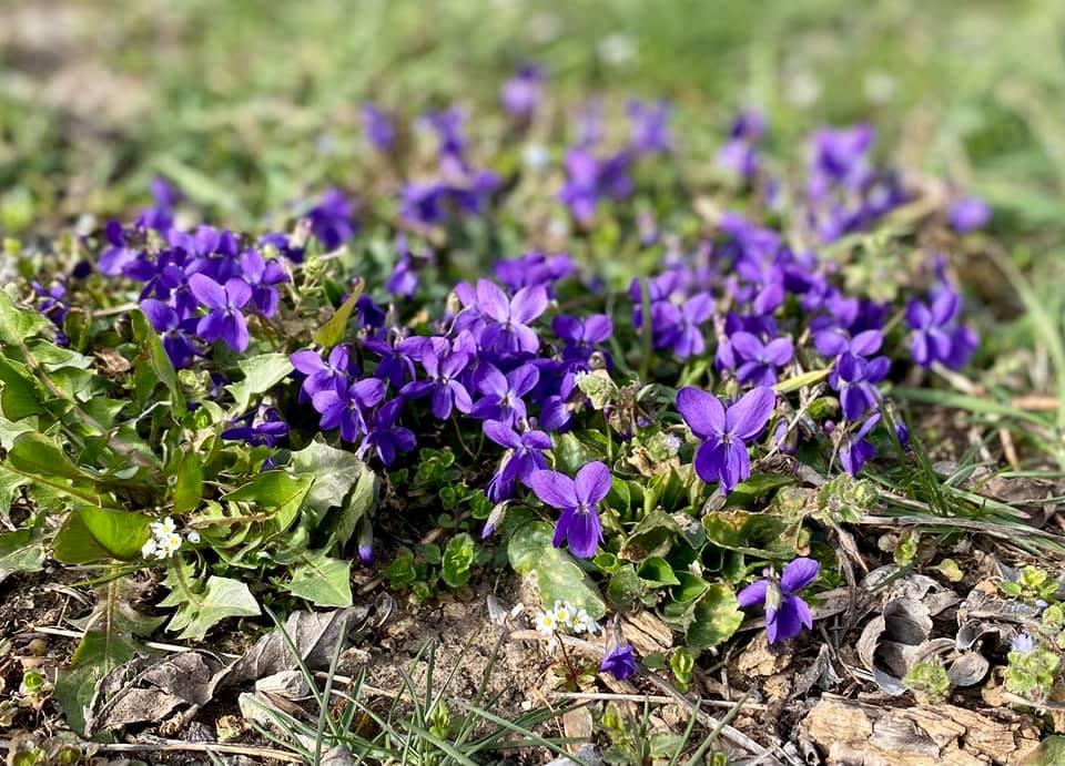 Violettes des prés © Noémie Oesterlé