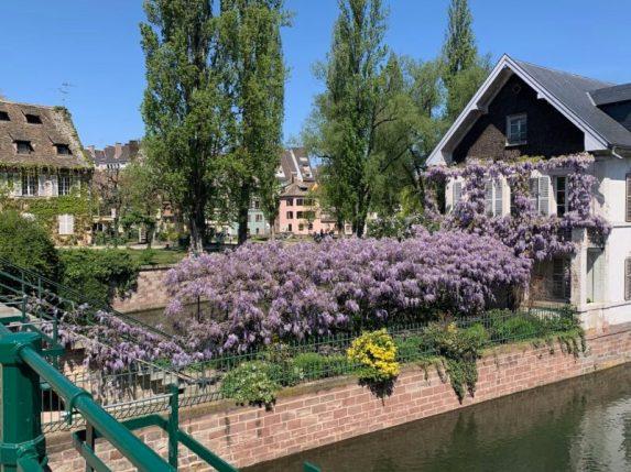 Glycine aux Ponts Couverts, quartier de la Petite France à Strasbourg