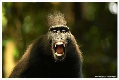 Angry Monkey. Fotograaf dboy. Bron: www.flickr.com