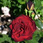 Rose Garden's Darkest Color Rose Ink Spot