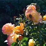 Rose Garden in Portland Peach Roses in Sunlight