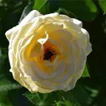 Rose Garden with Yellow Rose and Bee
