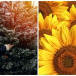 People Are Decorating Christmas Trees With Sunflowers Simplemost