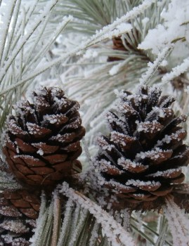 Frosted Pinecones Scent