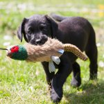 brook puppy picture
