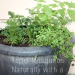Repel Mosquitos Naturally with a Mosquito Planter