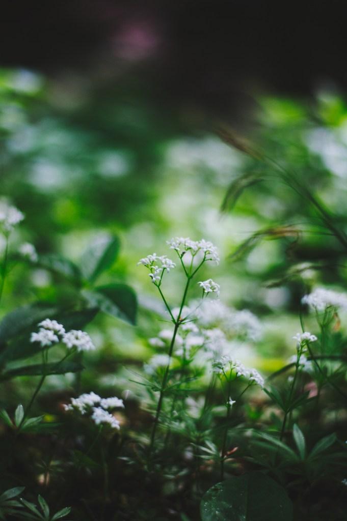Sweet woodruff in bloom