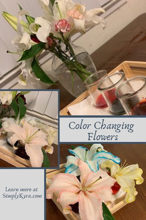 Do you have extra flowers lying around? Why not check out how water moves through flowers by putting them into diluted food dye? Watch the dye change the flower petals and show exactly where the water goes. This could be the entire experiment or you can it as a platform for more discussion and research about flowers.