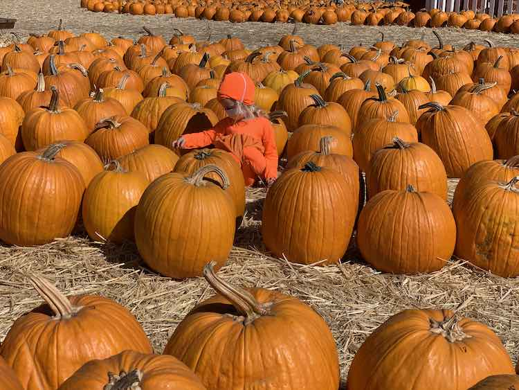 Tons of pumpkins laid out on a straw covered dirt ground with a Zoey sitting among them all.