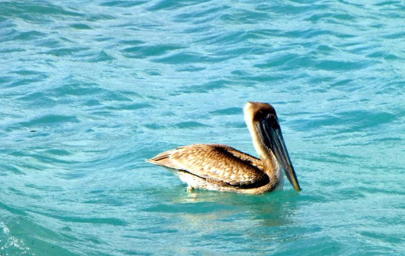 Cozumel, Mexico Pelican