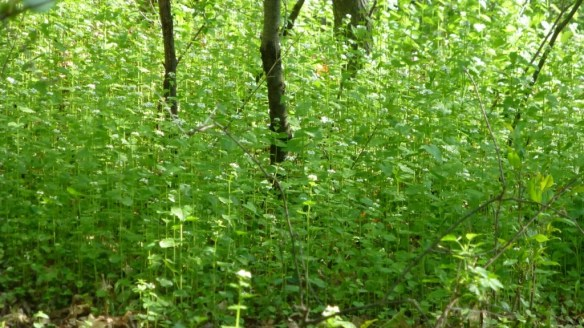 Field of Garlic Mustard Weeds