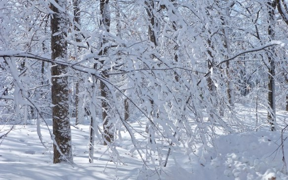 Snow Laden Trees, Minnesota