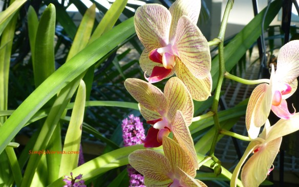 Orchid - Minnesota
