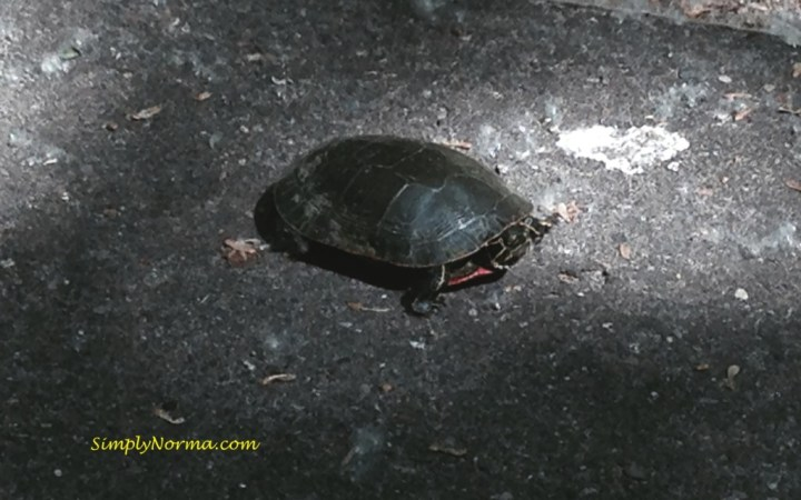Small Minnesota Turtle