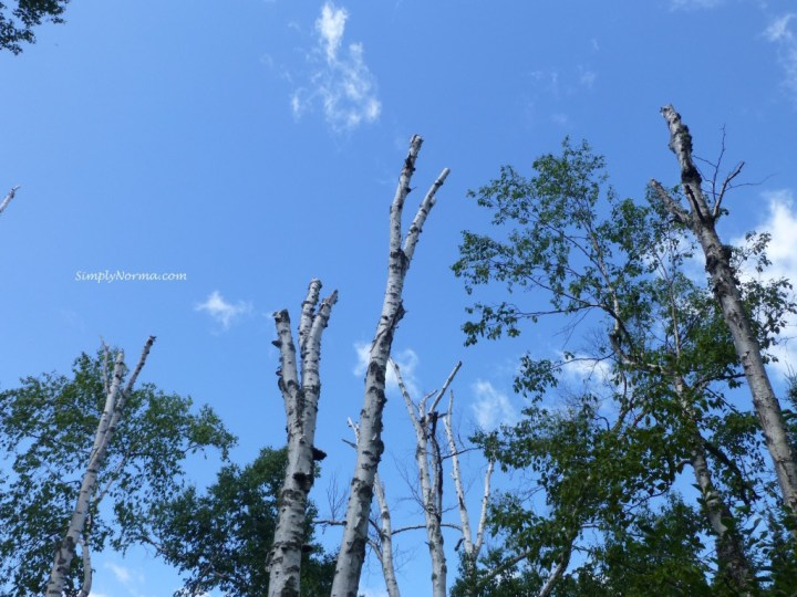 Birch Trees, MN