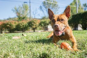 Happy dog staying in yard with wireless pet containment system from Petsafe