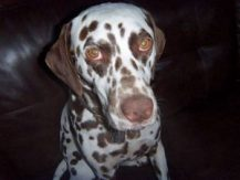Sheri, a dog lover, blogs about her Dalmatian, Jerry