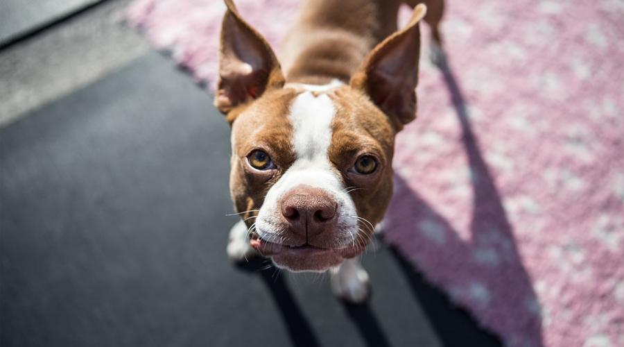 CBD Oil for Boston Terriers