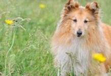 CBD Oil for Shetland Sheepdogs