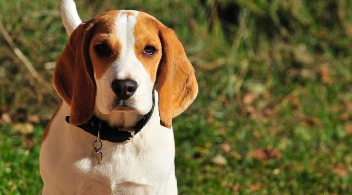The Beagle Health Concerns