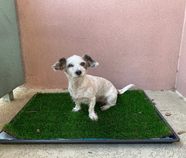 How I Retrained My Housetrained Dog to Pee on Fake Grass