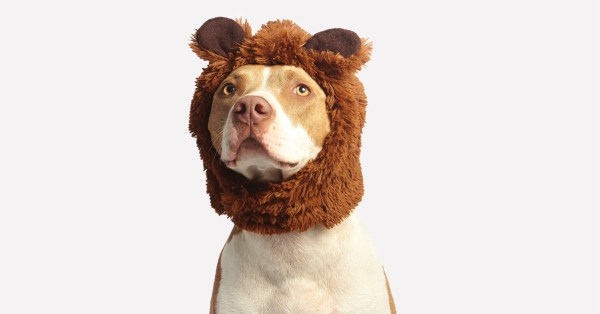White and Tan Pit Bull Wearing a Bear Hat