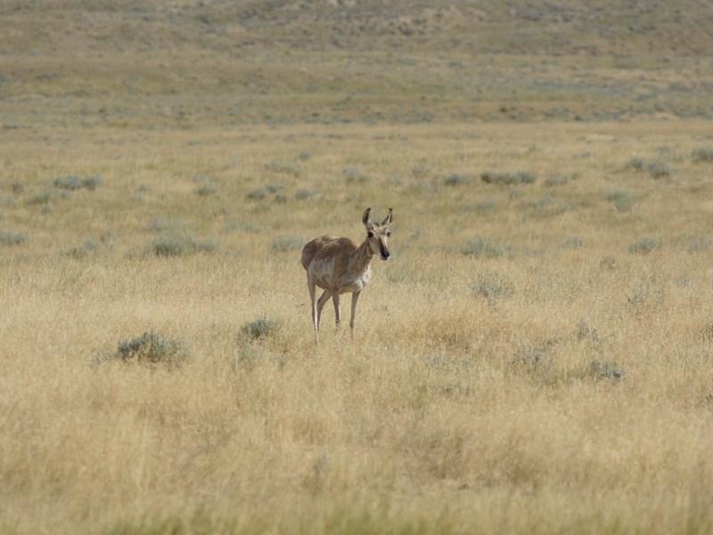 A lone antelope doe