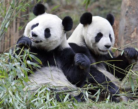Giant Pandas Enjoying Bamboo
